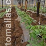 produção de tomate