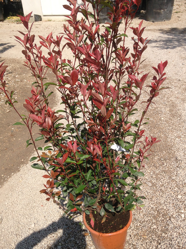 Photinia 'Carré Rouge'