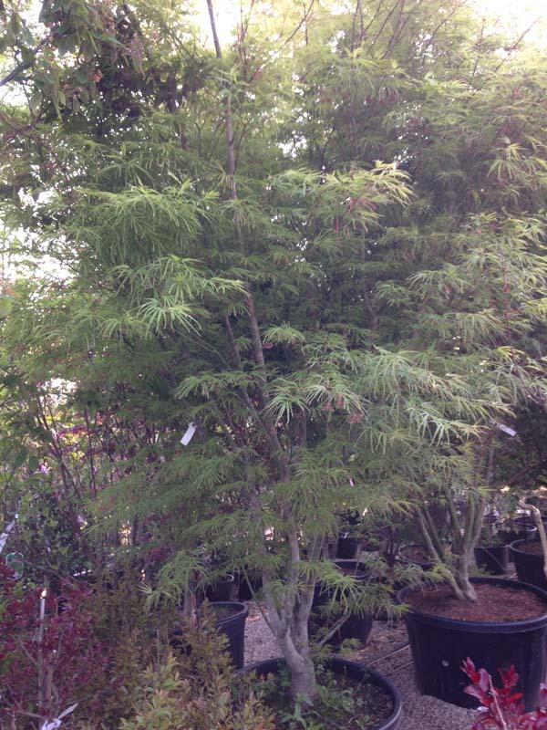 Acer Palmatum 'scolopendrum'