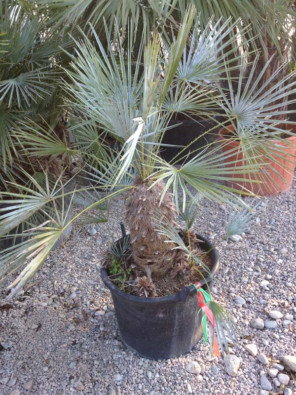 Chamaerops Humilis 'cerasifera'