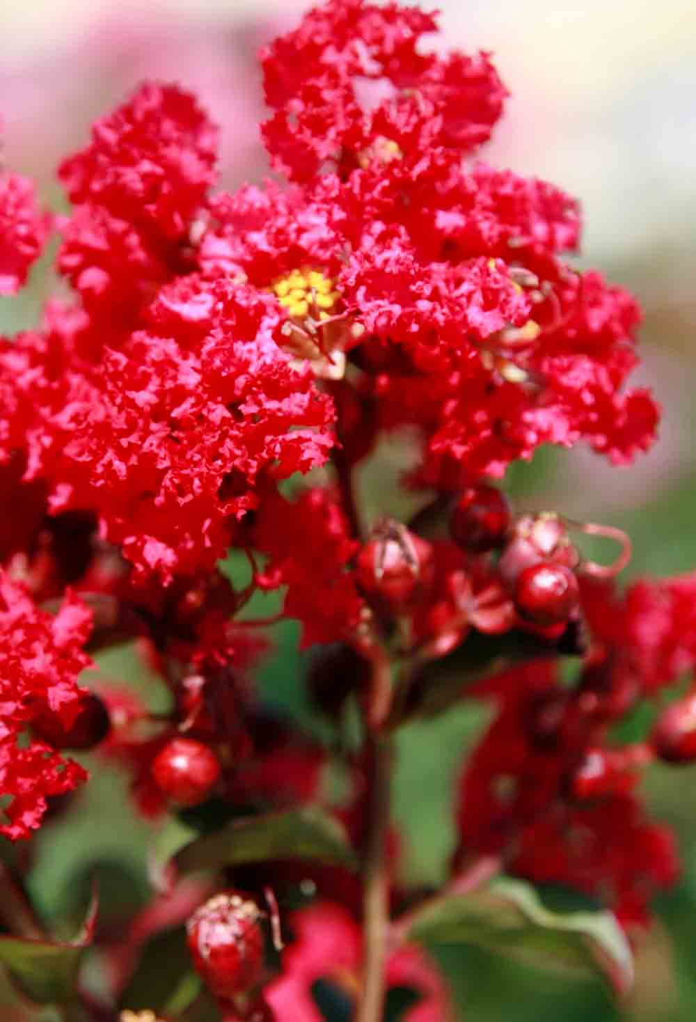 Lagestroemia Touffe 'Petit Red'