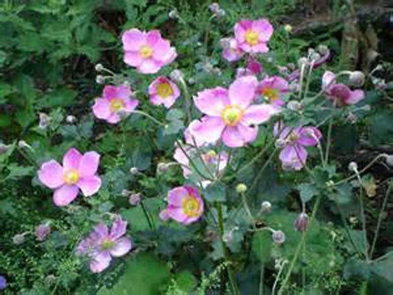Anémone Rose