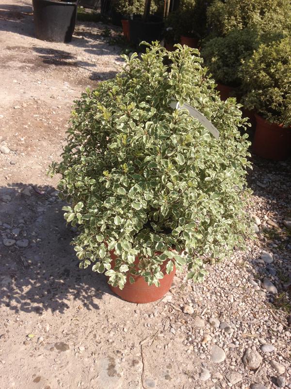 Pittosporum Tenuifolium 'variegata'