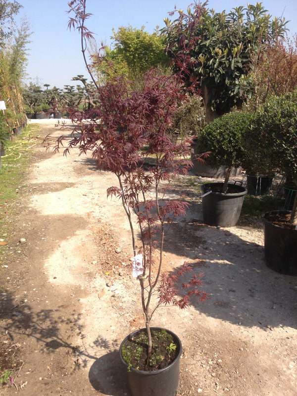 Acer Palmatum 'Bloogood'