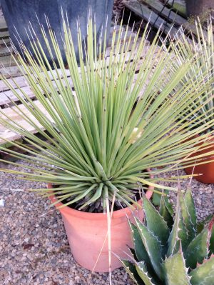 agave-stricta