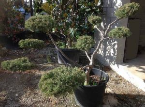 Juniperus en nuage