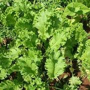 high-value vegetables - mustard greens