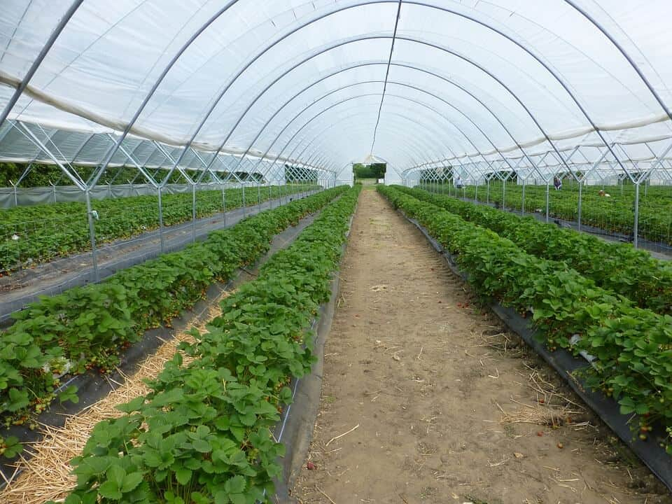 Greenhouse farming of strawberries