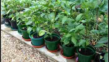 How to Make a Fortune Growing Habanero Pepper | Hort Zone