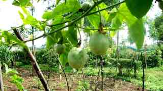 8 Common problems with growing passion fruits and how to overcome them