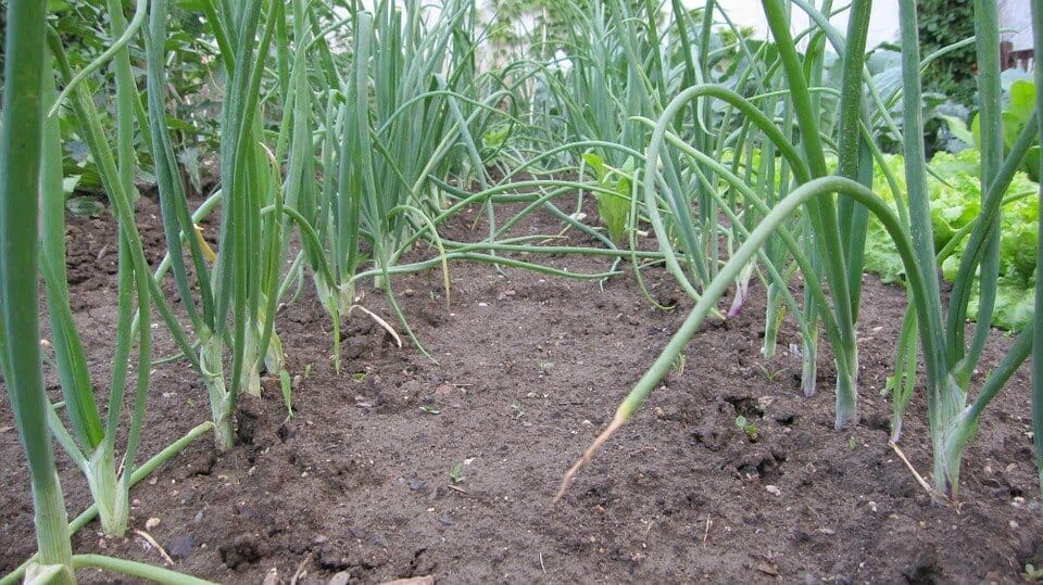 Easiest vegetables to grow onion