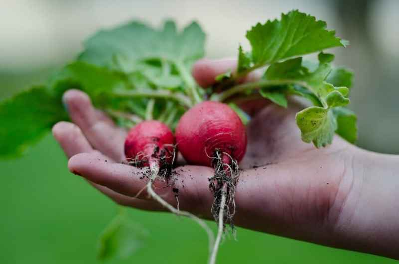 Easiest vegetables to grow radish