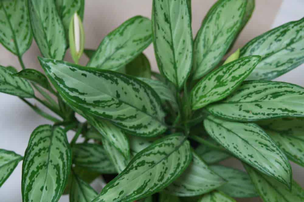 Houseplants chineese evergreen