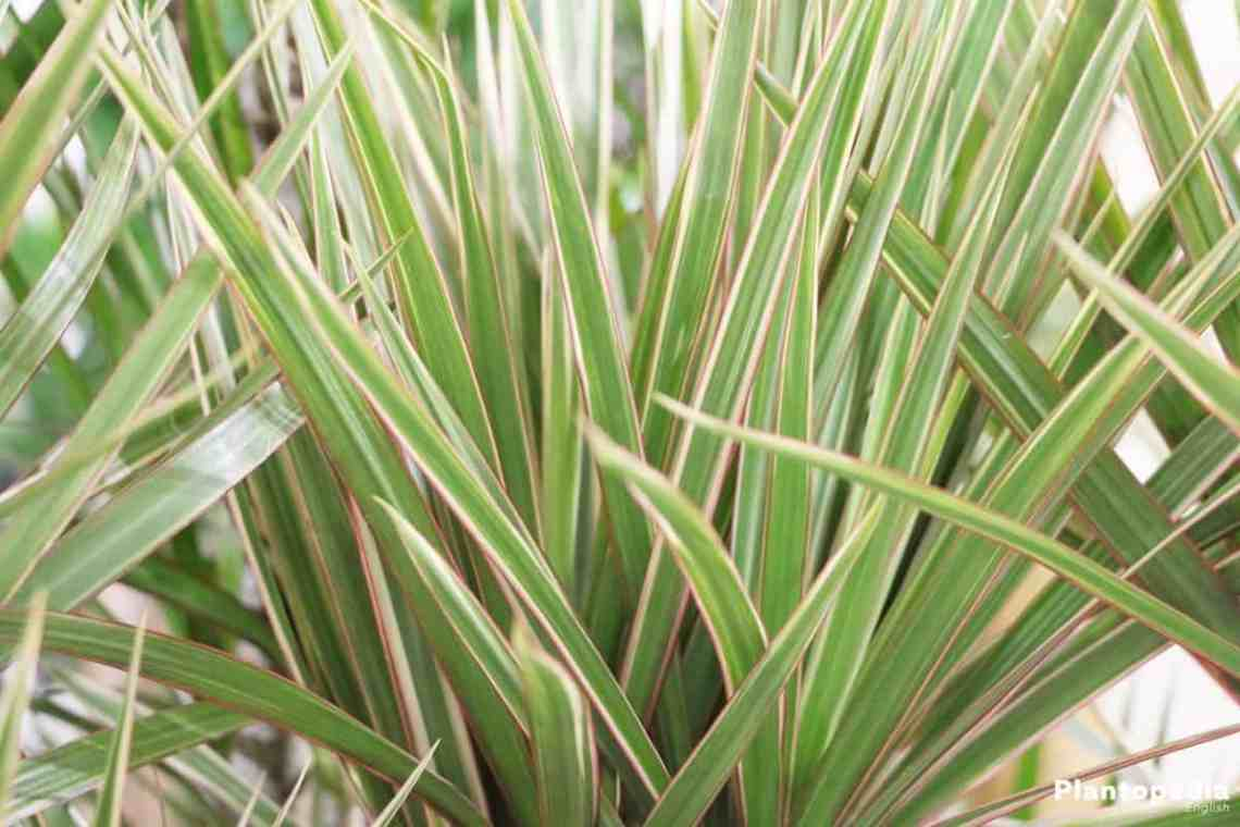 Houseplants dracaena marginata
