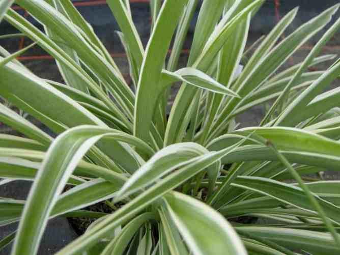 low light houseplants spider plant