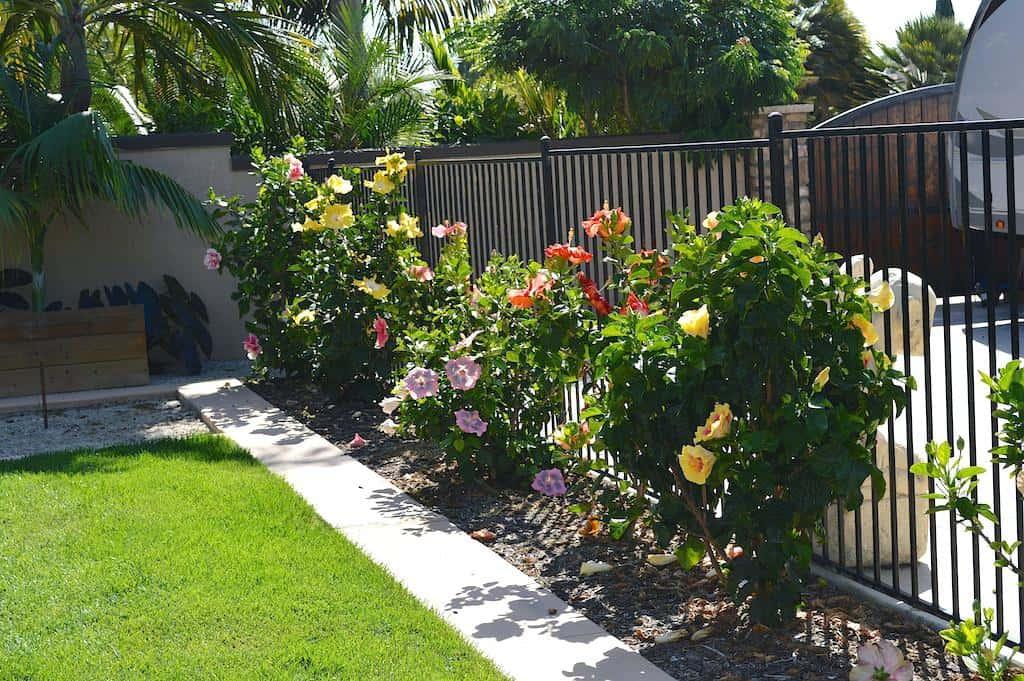 Hibiscus plant care