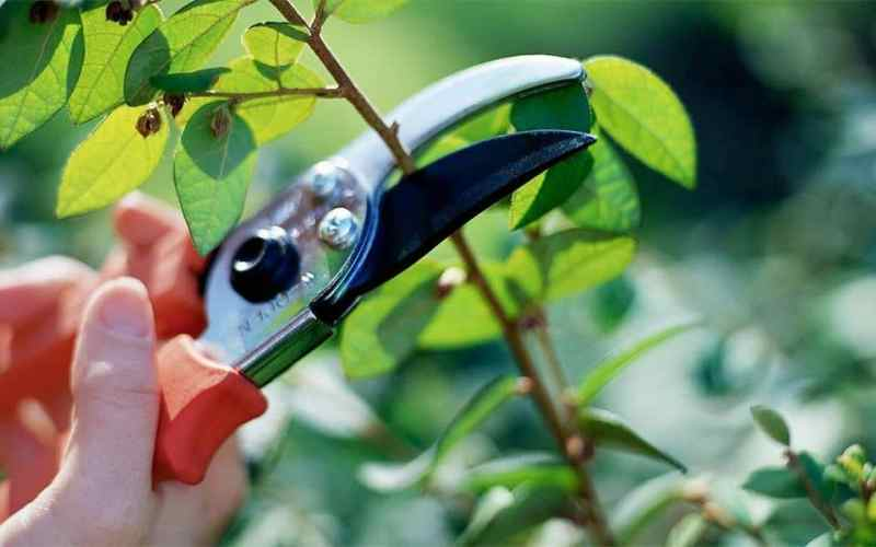 Hibiscus plant care pruning