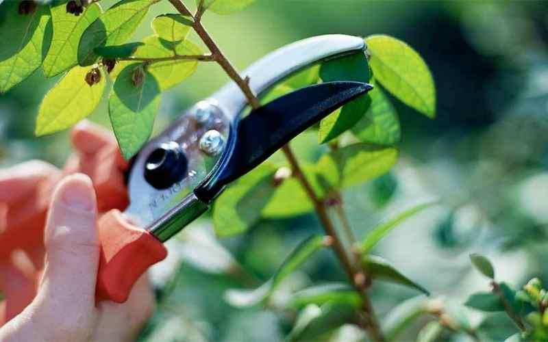 Hibiscus plant care pruning