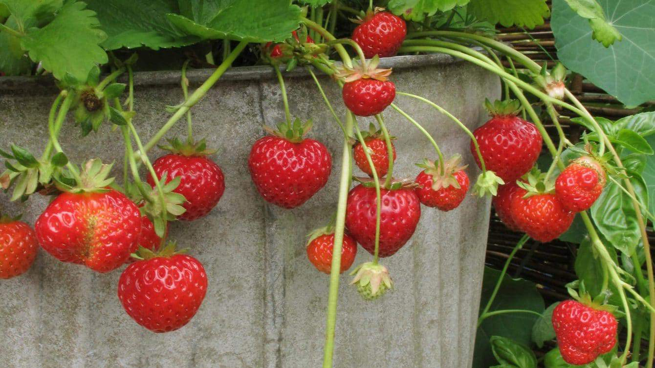 Easy Tips For Growing Strawberries In Pots Hort Zone