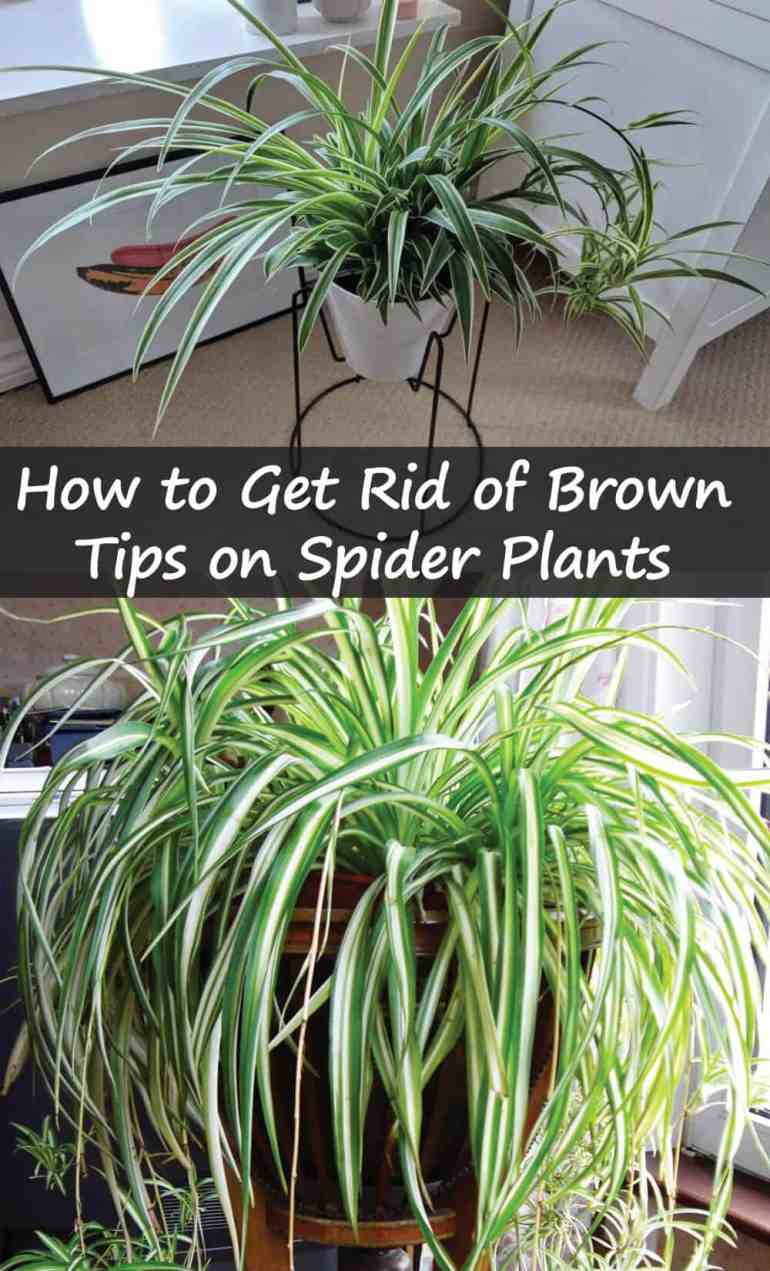 How to Get Rid of Brown Tips on Spider Plants