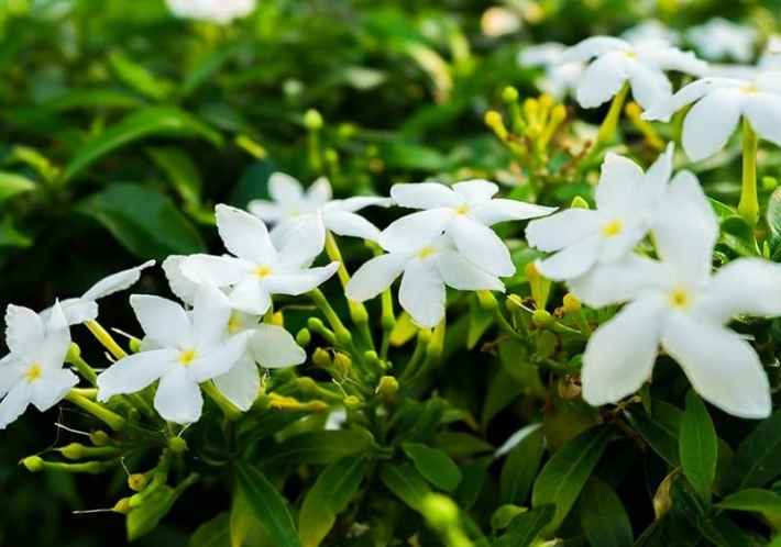 Indoor flowering plants - Jasmine