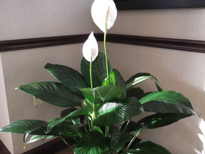 Indoor flowering plants - peace lily