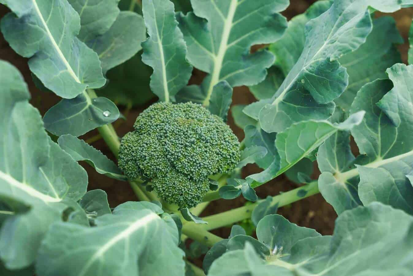 13 Easy Tips for Broccoli Growing and Care
