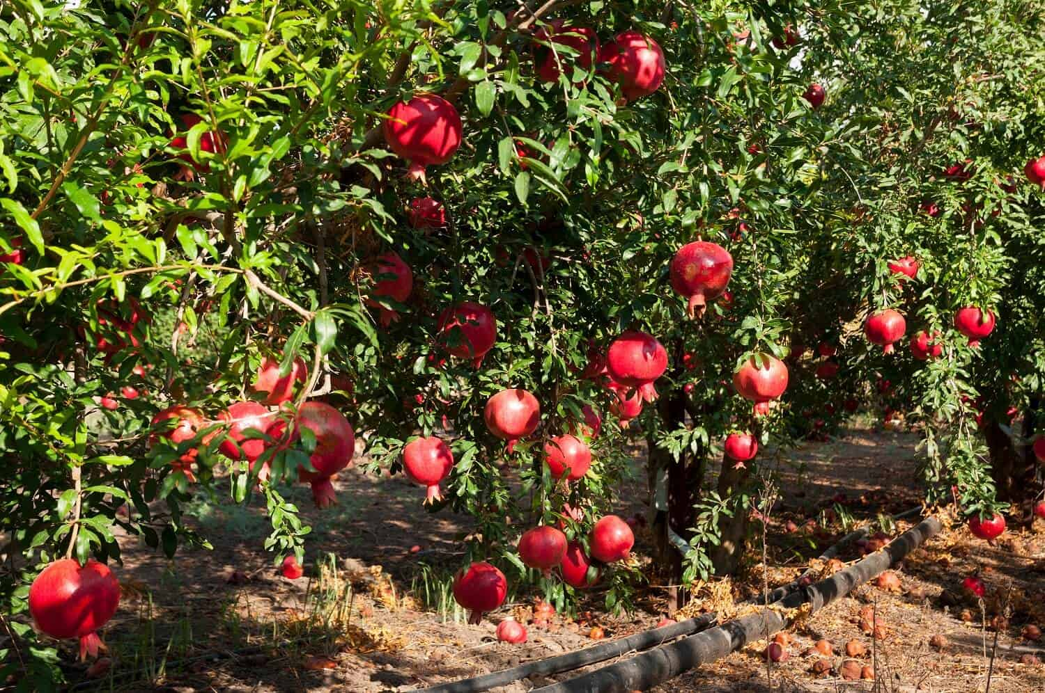 11 Tips on How to Grow Pomegranate Fruit Trees