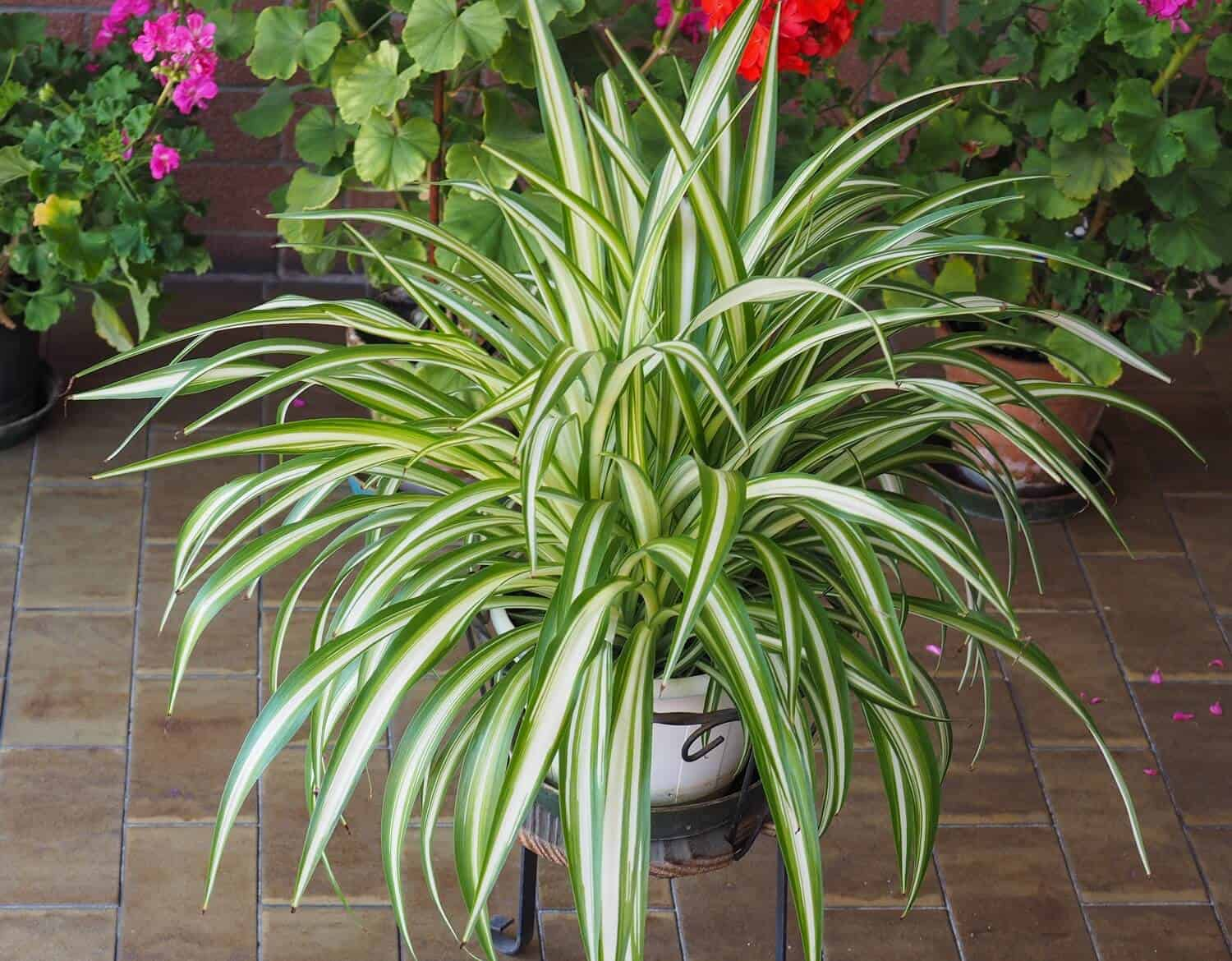 3 Best Methods for Propagating Spider Plants at Home