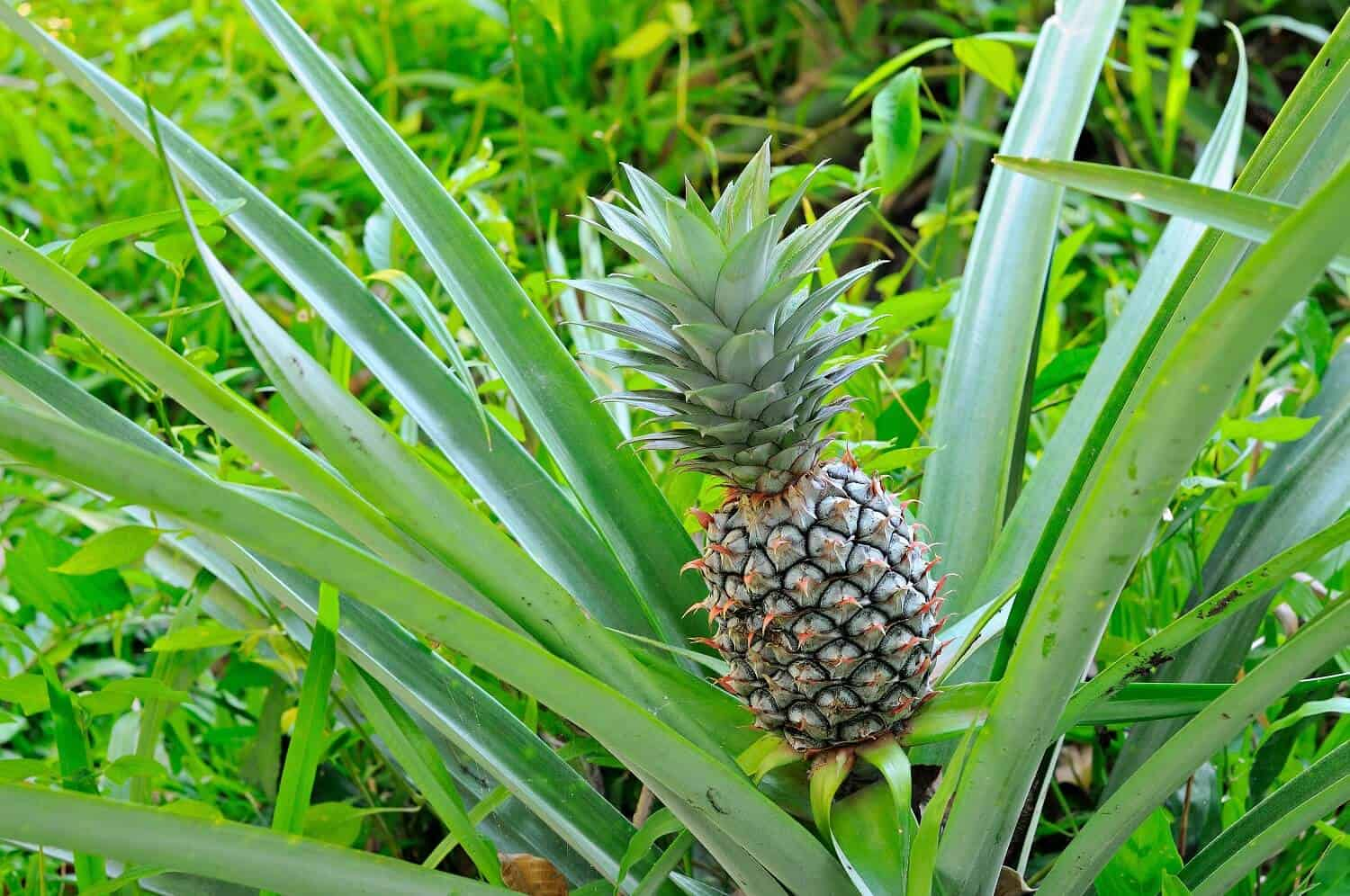 How to Plant Pineapples at Home for Personal Use