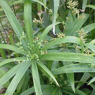 Species: Cyperus diffusus Family: Cyperaceae צילום: Kurt Stüber