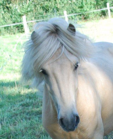 Islandpferde vom Hossberg Verkaufspferde Gloi