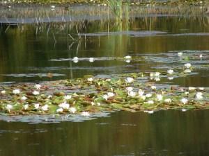 l'étang du Grillotier Blanc Morvan