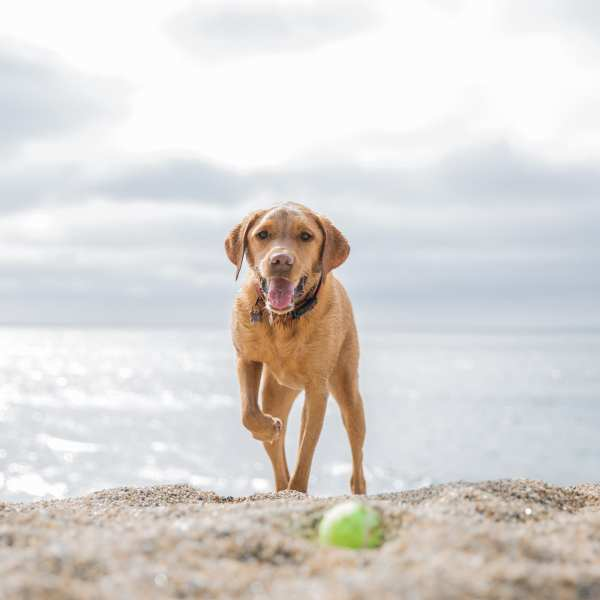 A happy and healthy Labrador retriever dog standing on a sunny beach with its tongue lolling out