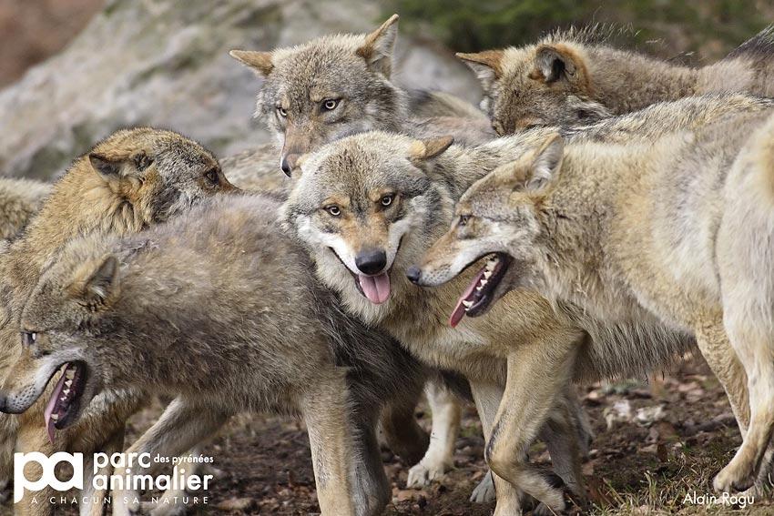 La Cabane Du Trappeur Dormir Au Milieu Des Loups Au Parc