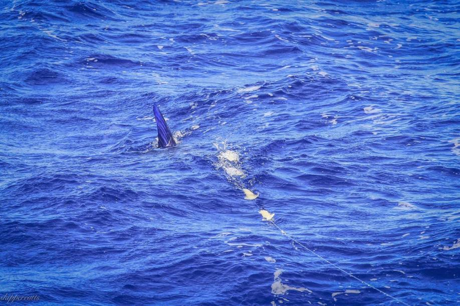 striped marlin at bermagui follows daisy chain of squids