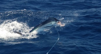 leaping marlin