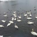 大沼公園の渡り鳥