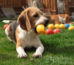Beaglemädchen mit Ballgefühl? ...