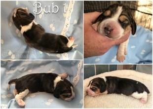 Bub1, 4 Tage alt