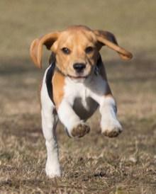 ...wendige kleine Flug - Beaglette! *g*
