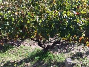 vin medoc saison cep 5 octobre