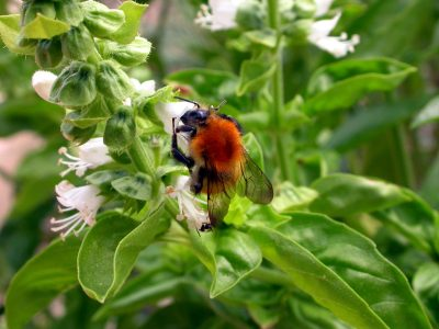 a tip for your herb garden - prune your basil bush