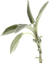 Planting Sage? Make sure you don't over water it...