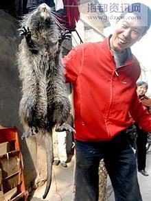Giant Bamboo Rat