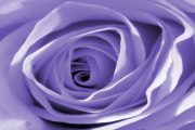 Purple Rose - Looking after your roses in March