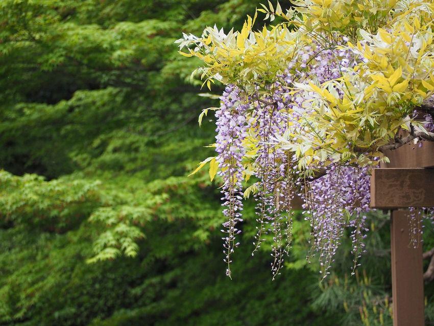 Piante Per Recinzioni Giardino.10 Piante Rampicanti Sempreverdi Per Il Tuo Giardino