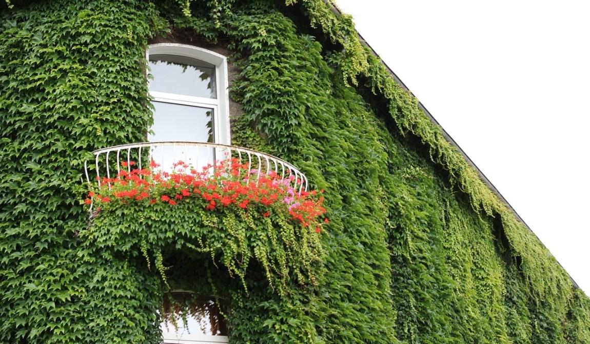10 piante rampicanti sempreverdi per il tuo giardino for Case ricoperte di edera