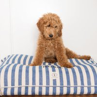 Meet Rosie Girl the Goldendoodle