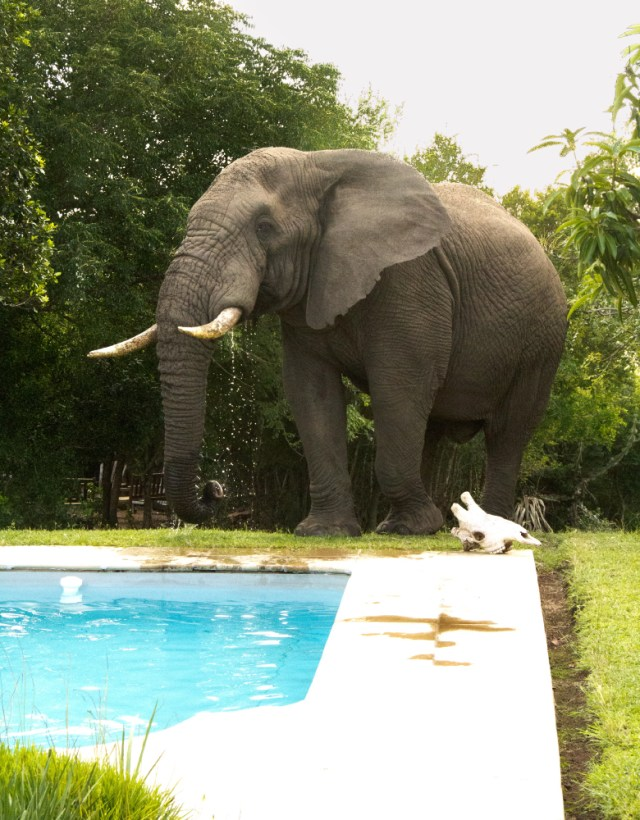 Elephant at the pool